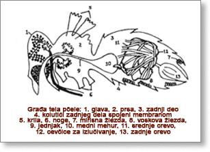 PROIZVODNjA I UVOZ MEDA Anatomija-pcela