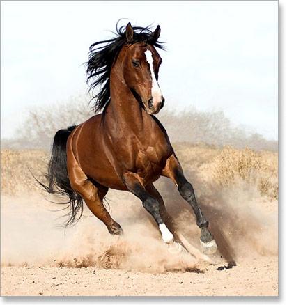 ARAPSKI KONjI Arapski-konj-01