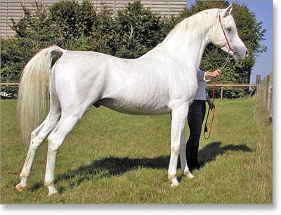 ARAPSKI KONjI Arapski-konj-02